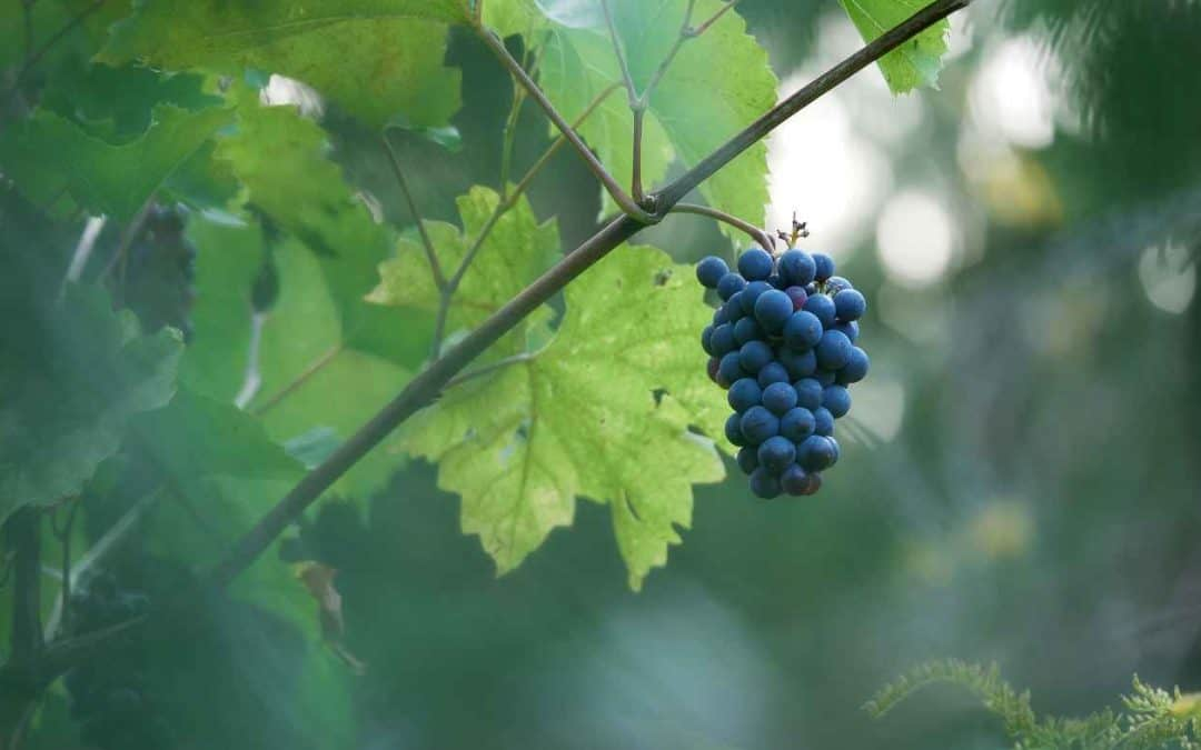 Cluster of Growing Grapes
